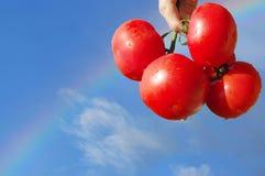 Pomodori su raibow - raccolta felice   Fotografie Stock