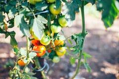 pomodori su un cespuglio in un maturo rosso dell'orto domestico e verde Immagine Stock