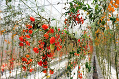 Pomodori su un ramo in un'azienda agricola, fuoco selettivo, Tailandia Fotografia Stock Libera da Diritti