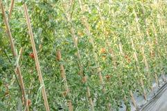 Pomodori sugli alberi Immagine Stock Libera da Diritti
