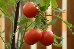 Pomodori sul gambo Fotografie Stock