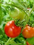 Pomodori sulla vite Fotografia Stock