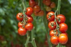 Pomodori sulla vite Immagine Stock Libera da Diritti