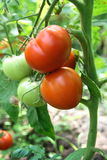 Pomodori in un giardino Immagine Stock Libera da Diritti