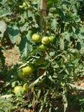 Pomodori in un orto domestico Immagini Stock Libere da Diritti