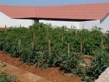 Pomodori in un orto domestico Fotografia Stock Libera da Diritti