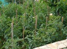 Pomodori in un orto domestico croato Immagini Stock Libere da Diritti