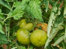 Pomodori in un orto domestico croato Immagine Stock Libera da Diritti