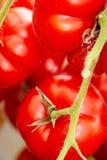 Pomodori in una serra Fotografia Stock