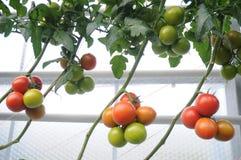 Pomodori variopinti della vite Immagine Stock Libera da Diritti
