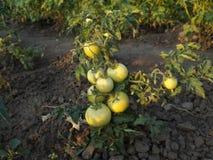 Pomodori verdi immagini stock libere da diritti