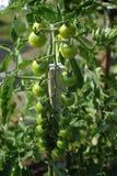 Pomodori verdi Fotografia Stock