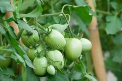 Pomodori verdi che crescono sulle filiali È coltivato in Immagine Stock Libera da Diritti