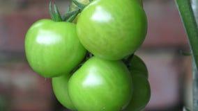 Pomodori verdi che crescono sulle filiali È coltivato nel giardino archivi video