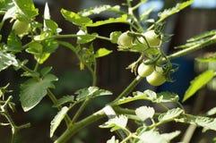 Pomodori verdi coltivati in un giardino del cortile Immagine Stock Libera da Diritti