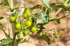 Pomodori verdi Comcept di agricoltura Frutta non matura dei pomodori sui gambi verdi Fotografia Stock Libera da Diritti