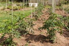 Pomodori verdi Comcept di agricoltura Frutta non matura dei pomodori sui gambi verdi Immagini Stock Libere da Diritti