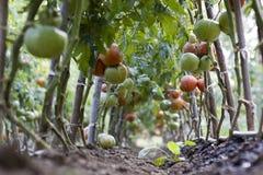 Pomodori verdi e maturi Fotografia Stock Libera da Diritti