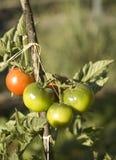 Pomodori verdi e rossi immagine stock