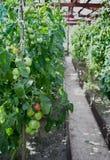 Pomodori verdi e rossi Fotografia Stock Libera da Diritti