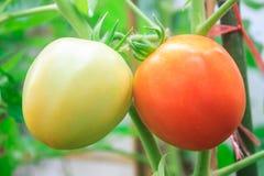 Pomodori verdi e rossi freschi Fotografia Stock Libera da Diritti