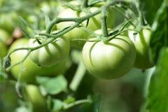 Pomodori verdi non maturi nel giardino Fotografie Stock