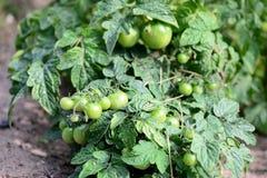 Pomodori verdi non maturi nel giardino di estate Fotografia Stock
