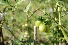 Pomodori verdi non maturi nel giardino di estate Immagine Stock Libera da Diritti