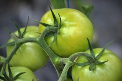 Pomodori verdi sui cespugli in una serra del policarbonato Immagine Stock Libera da Diritti