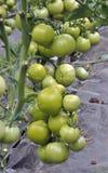 Pomodori verdi sui cespugli in una serra del policarbonato Fotografie Stock
