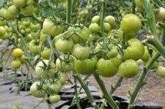 Pomodori verdi sui cespugli in una serra del policarbonato Immagini Stock Libere da Diritti