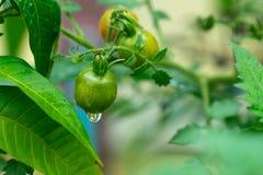 Pomodori verdi sul ramo nelle goccioline di acqua dopo immagini stock