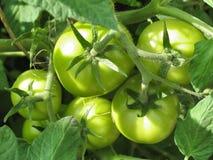 Pomodori verdi sul ramo Pomodori crescenti in giardino Fotografie Stock Libere da Diritti