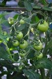 Pomodori verdi sulla vite Fotografia Stock Libera da Diritti