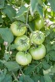 Pomodori verdi sulla viticoltura nel giardino immagine stock