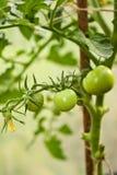 Pomodori verdi in un giardino fotografie stock libere da diritti