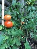Pomodoro immagine stock