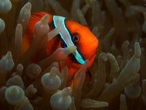 Pomodoro Anemonefish fotografia stock