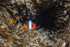 Pomodoro Anemonefish fotografie stock