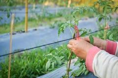 Pomodoro asiatico dell'agricoltore legato con la corda Fotografia Stock