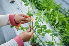 Pomodoro asiatico dell'agricoltore legato con la corda Immagini Stock Libere da Diritti