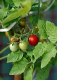 Pomodoro ciliegia fresco nel giardino Fotografia Stock Libera da Diritti