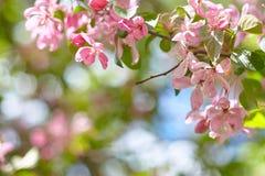 Pomodoro ciliegia maturo su un tagliere di legno circondato da lattuga, dalle foglie del basilico e dai pomodori gialli fotografia stock