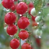 Pomodoro ciliegia rosso fresco e bagnato in giardino Fotografia Stock Libera da Diritti