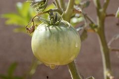 Pomodoro con le gocce di acqua dopo l'innaffiatura Fotografie Stock