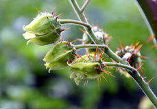 Pomodoro del litchi Fotografia Stock