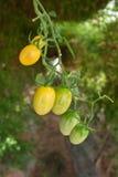 Pomodoro del mazzo Fotografia Stock Libera da Diritti