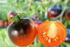 Pomodoro del nero della rosa dell'indaco del pomodoro nel fondo di unfocus Fotografie Stock Libere da Diritti