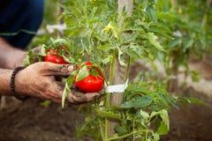 Pomodoro della tenuta dell'agricoltore in sua mano Immagine Stock