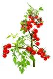 Pomodoro di ciliegia fotografie stock